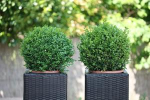 immergrüner Buchsbaum