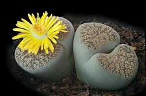 Lebender Stein mit Blüte