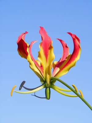 Blüte der Gloriosa superba