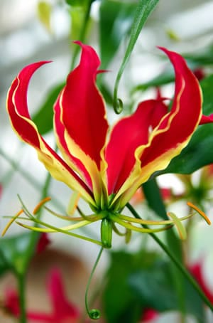 Blüte der Ruhmeskrone