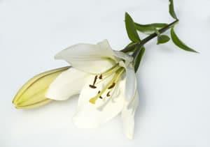 weiße Lilie Blüte