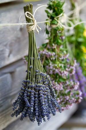 Lavendel schneiden und trocknen