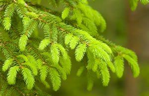 immergrüner Baum - Fichte