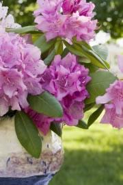 Rhododendron als Kübelpflanze