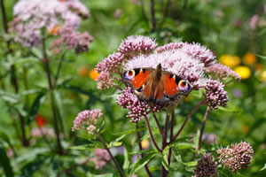 Schmetterling an Wasserdost