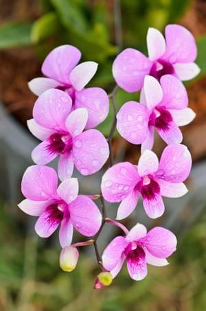 Orchidee Dendrobium