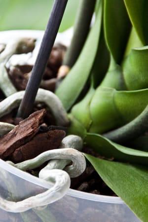 Dendrobium Pflanze
