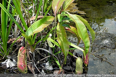 Nepenths mirabilis