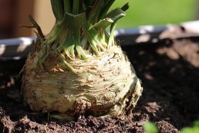 Knollensellerie Gemüsesorten