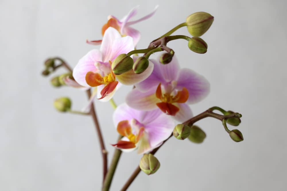 phalaenopsis orchidee schmetterlingsorchidee pflege
