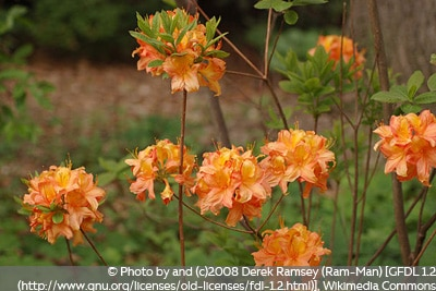 Rhododendron Golden Eagle