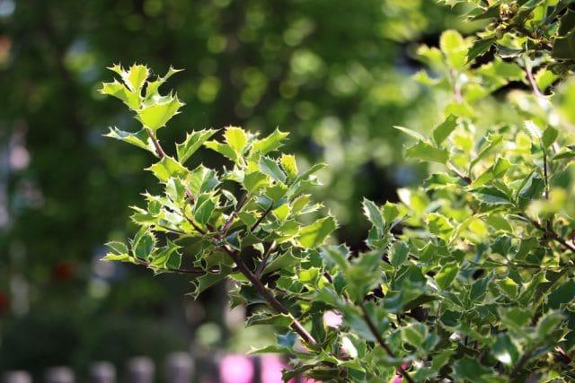 Stechplame Ilex immergrüne Pflanzen