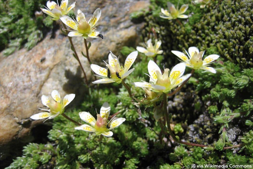 Moos-Steinbrech (Saxifraga bryoides), Steingarten