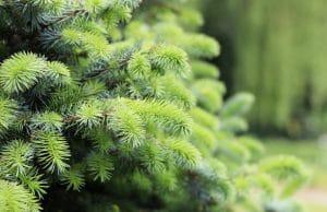 Stikafichte immergrüne Bäume