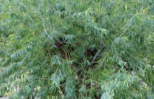 Trauerweide Salix