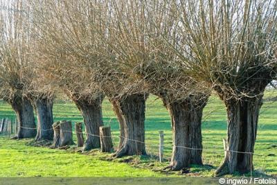 Außergewöhnlich Trauerweide, Hängeweide, Salix - Pflanzen, Schneiden und Pflege @YQ_52