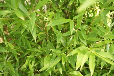 Bambus winterharte Kübepflanze