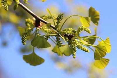 Ginkgobaum