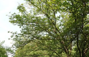 japanische Blütenkirsche Prunus serrulata