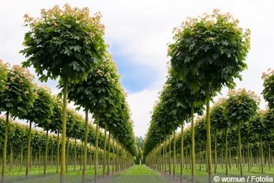 kleinbleibende Bäume