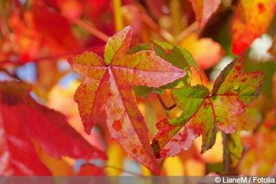 Kugelbaum Amberbaum