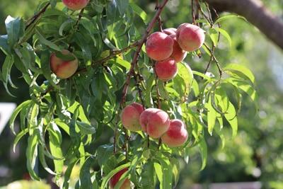 Pfirsich Prunus persica kleinbleibende Gehölze