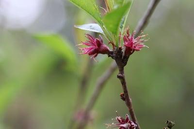 Pfirsich Prunus persica
