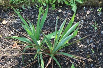 Yucca-Palme, Palmlilie