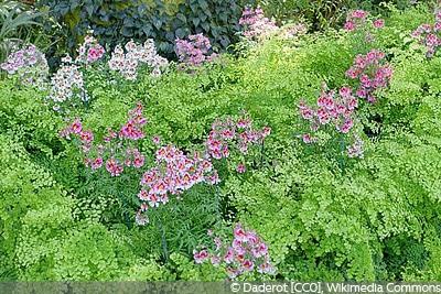 Bauernorchidee Schizanthus