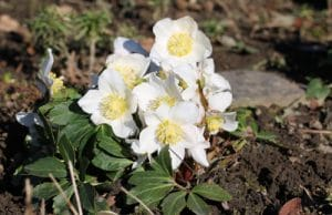 winterharte Pflanzen Christrosen