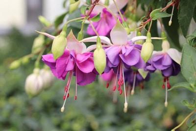 winterharte Pflanzen Fuchsie