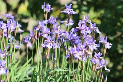 Schwertlilie Iris