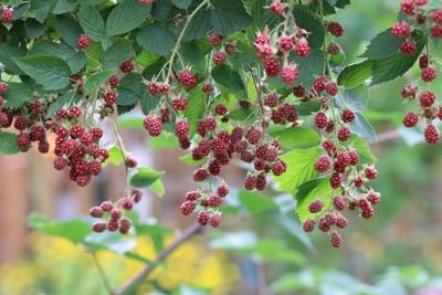 winterharte Pflanzen Brombeeren