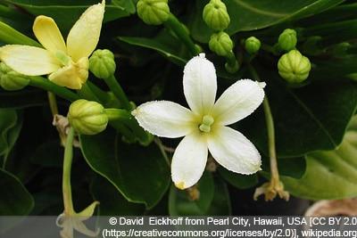 Hawaii-Palme Vulkanpalme