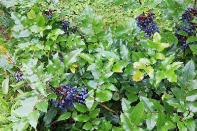 Mahonie Mahonia aquifolium