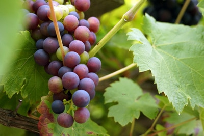 Wein Vitis Obst