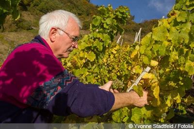 Wein Vitis