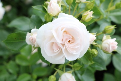Rosen Stammrose