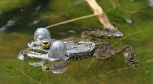 Tiere im Teich - Frosch