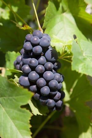 Weinanbau im Garten