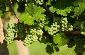 Weinreben im Garten anbauen