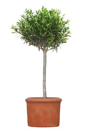Olivenbaum kaufen - Tipps für die Anschaffung - Gartendialog de