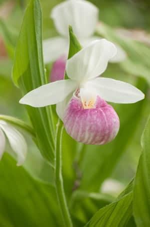 Cypripedium Orchidee
