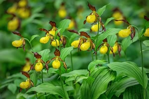 Gartenorchidee