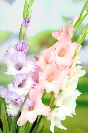 Außergewöhnlich Gladiolen, Gladiolus - Pflanzen, Pflege und Überwintern #QF_16