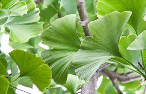 Blatt des Ginkgobaums