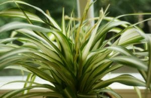 Grünlilie - beliebte Topfpflanze