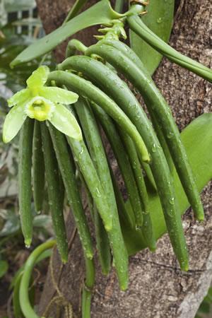 Vanilla planifolia Wurzeln