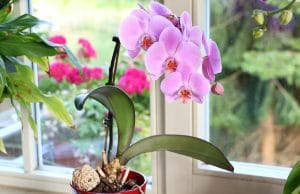 Orchideen düngen