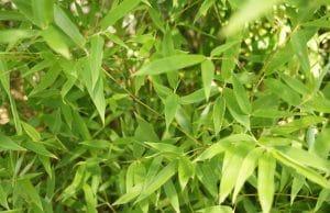 Muriel-Bambus